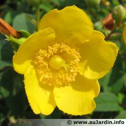 la fleur de Martin du 13 juin trouvée par Martine Millepertuis