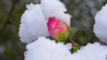 frozen-rose